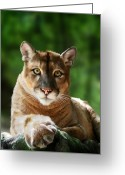 Cougar Greeting Cards - Mac Greeting Card by Big Cat Rescue