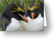Sub Greeting Cards - Macaroni Penguin Eudyptes Chrysolophus Greeting Card by Suzi Eszterhas