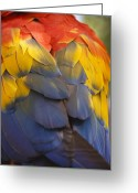 Bright Color Greeting Cards - Macaw Parrot Plumes Greeting Card by Adam Romanowicz