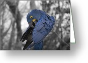 Birds Eye Greeting Cards - Macaw Greeting Card by Steven  Michael