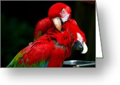Telephoto Greeting Cards - Macaws Greeting Card by Mingqi Ge