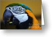 Talking Birds Greeting Cards - Mack Hypnosis  Greeting Card by Rene Triay Photography