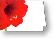 Stamen Greeting Cards - Macro Of Red Amaryllis With Copy Space Greeting Card by Ursula Alter