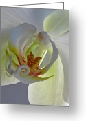 White Orchids Greeting Cards - Macro Photograph of an Orchid  Greeting Card by Juergen Roth