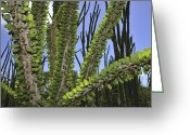 Berenty Private Reserve Greeting Cards - Madagascan Ocotillo Alluaudia Procera Greeting Card by Thomas Marent