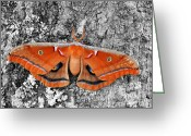 Antheraea Polyphemus Greeting Cards - Madam Moth Selective Color Greeting Card by Al Powell Photography USA