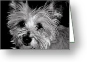 Cairn Terrier Greeting Cards - Maggie Greeting Card by Sharon Blanchard