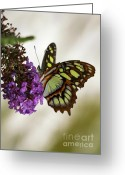 Gossamer Greeting Cards - Magnificant Malachite Butterfly Greeting Card by Sabrina L Ryan