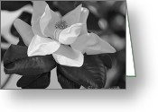 Magnolia Grandiflora Greeting Cards - Magnificence in Black and White Greeting Card by Suzanne Gaff