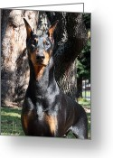 Doberman Greeting Cards - Magnificence Greeting Card by Rita Kay Adams