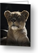 Big Cats Greeting Cards - Magnificent lioness Greeting Card by Sheila Smart