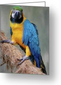 Exotic Bird Greeting Cards - Magnificent Macaw Greeting Card by DigiArt Diaries by Vicky Browning