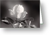 Flower Blossom Greeting Cards - magnolia B and W Greeting Card by Linda Phelps