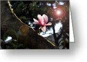 Magnolia Bloom Greeting Cards - Magnolia Bloom Greeting Card by Andrew Dinh