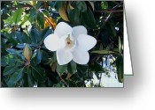 Post Card Greeting Cards - Magnolia Blossom Greeting Card by The Kepharts