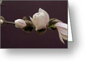 Beautiful Flowering Trees Greeting Cards - Magnolia Blossoms Greeting Card by Michael Peychich