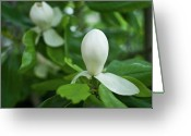 Sexual Relations Greeting Cards - Magnolia Bud Greeting Card by Douglas Barnett