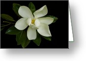 Magnolia Grandiflora Greeting Cards - Magnolia Flower Greeting Card by Nicola Fiscarelli