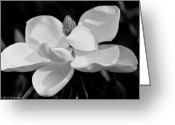 Magnolia Grandiflora Greeting Cards - Magnolia I Greeting Card by Calvin Humble