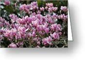 Magnolia Bloom Greeting Cards - Magnolia in full bloom Greeting Card by Kaye Menner