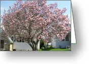 Magnolia Bloom Greeting Cards - Magnolia Tree Greeting Card by Marsha Heiken