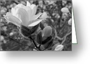 Magnolia Bloom Greeting Cards - Magnolias in Spring Greeting Card by Michael Peychich