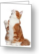 Coon Greeting Cards - Maine Coon (6 Months Old) Greeting Card by Life On White