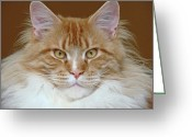 Coon Greeting Cards - Maine Coon Cat Greeting Card by Barbara Müller-Walter (Jorbasa)