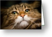 Coon Greeting Cards - Maine Coon Cat Greeting Card by David Wong