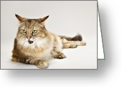 Coon Greeting Cards - Maine Coon Cat Laying Greeting Card by Evan Kafka