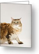 Coon Greeting Cards - Maine Coon Cat Looking Up Greeting Card by Evan Kafka