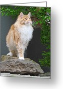 Coon Greeting Cards - Maine Coon Cat On Rock Greeting Card by Barbara Müller-Walter (Jorbasa)