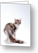 Coon Greeting Cards - Maine Coon Cat Greeting Card by Ultra.f