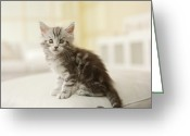 Coon Greeting Cards - Maine Coon Kitten, Close-up Greeting Card by GK Hart/Vikki Hart
