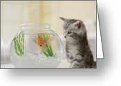 Coon Greeting Cards - Maine Coon Kitten Looking At Goldfish Bowl Greeting Card by GK Hart/Vikki Hart