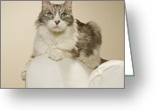 Coon Greeting Cards - Maine Coon Kitten On Arm Chair, Close-up Greeting Card by GK Hart/Vikki Hart