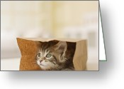Coon Greeting Cards - Maine Coon Kitten Sitting In Paper Bag, Close-up Greeting Card by GK Hart/Vikki Hart