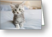 Coon Greeting Cards - Maine Coon Kitten Sitting On Bed In Bedroom Greeting Card by GK Hart/Vikki Hart