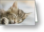 Coon Greeting Cards - Maine Coon Kitten Sleeping On Bed In Bedroom (differential Focus) Greeting Card by GK Hart/Vikki Hart