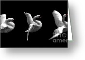 Seabirds Digital Art Greeting Cards - Majestic Swan Triptych Greeting Card by Dale   Ford