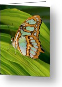 Palm Leaf Greeting Cards - Malachite Butterfly (siproeta Stelenes) On Rhapis Palm Leaves (rhapis Excelsa) Greeting Card by Darrell Gulin