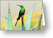 African Wildlife Greeting Cards - Malachite Sunbird Male Greeting Card by Peter Chadwick