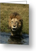 African Animals Greeting Cards - Male African Lion, Panthera Leo Greeting Card by Beverly Joubert