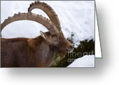 Curved Horns Greeting Cards - Male Alpine Ibex Greeting Card by Andrew  Michael