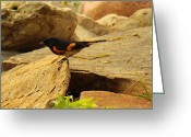American Redstart Greeting Cards - Male American Redstart On The Rocks Greeting Card by Roena King