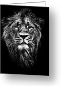 Black Fur Greeting Cards - Male Asiatic Lion Greeting Card by Meirion Matthias