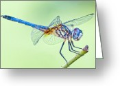 Mosquito Greeting Cards - Male Blue Dasher Dragonfly Greeting Card by Bonnie Barry