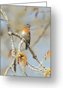 Business Decor Greeting Cards - Male Bluebird In Budding Tree Greeting Card by Robert Frederick