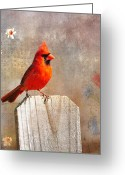 Cardinal Greeting Cards - Male Cardinal Greeting Card by Todd Hostetter