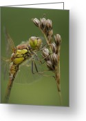 Compound Greeting Cards - Male Common Darter Greeting Card by Andy Astbury